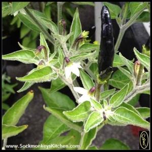 Black Cobra Chili Pepper Plant