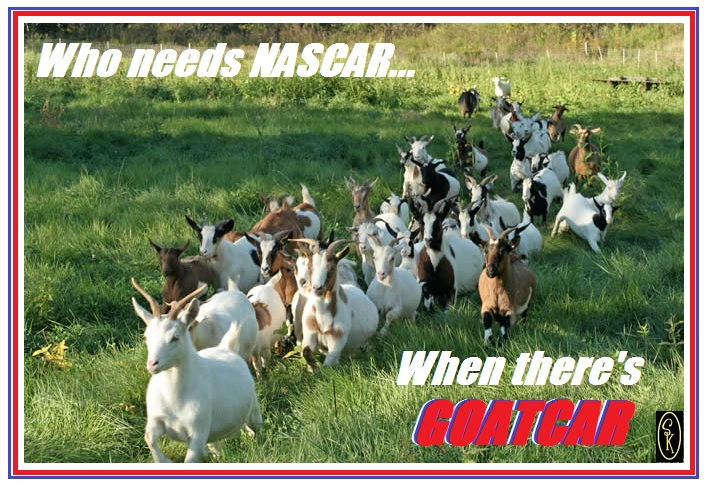When NASCAR and little goats collide...